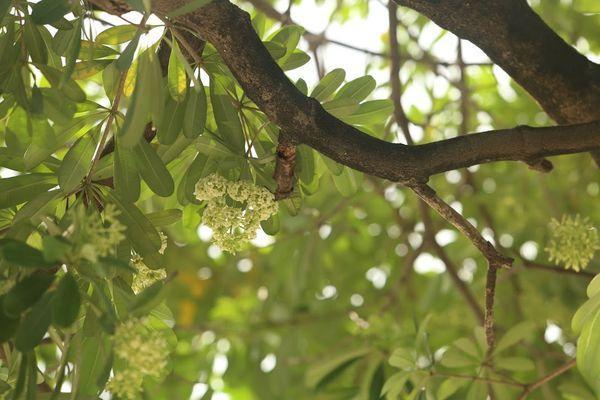 Người Hà Nội ngỡ ngàng khi hoa sữa bung nở giữa nắng gắt của mùa hè Ảnh 4