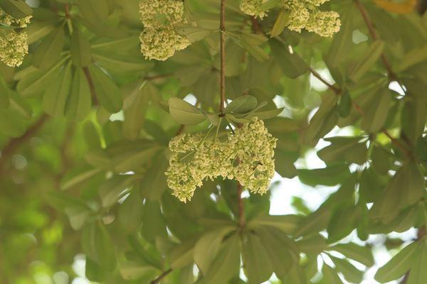 Người Hà Nội ngỡ ngàng khi hoa sữa bung nở giữa nắng gắt của mùa hè Ảnh 6