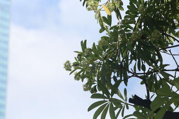 Người Hà Nội ngỡ ngàng khi hoa sữa bung nở giữa nắng gắt của mùa hè Ảnh 10