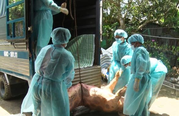 NÓNG: Dịch tả lợn châu Phi chính thức tấn công Cần Thơ với 3 ổ dịch Ảnh 1
