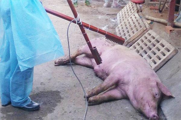 TP Hồ Chí Minh: Phát hiện trường hợp dịch tả lợn châu Phi đầu tiên Ảnh 1