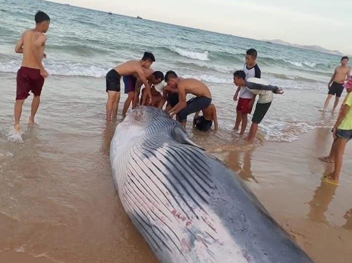 Cá Ông nặng hơn 2 tấn dạt vào bờ biển Khánh Hòa