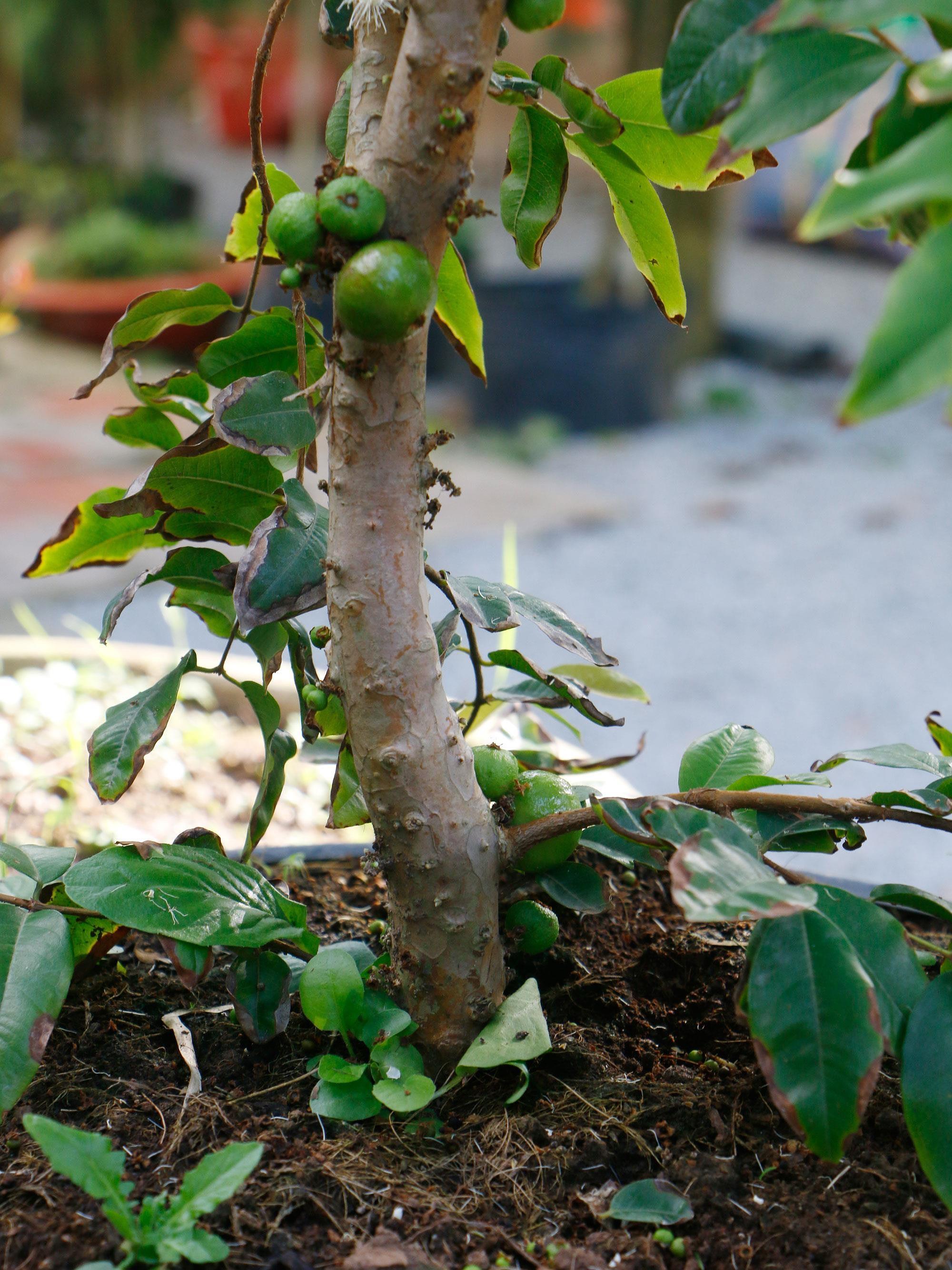 Chiêm ngưỡng vườn nho thân gỗ độc đáo ở xứ Cù Lao Ảnh 2