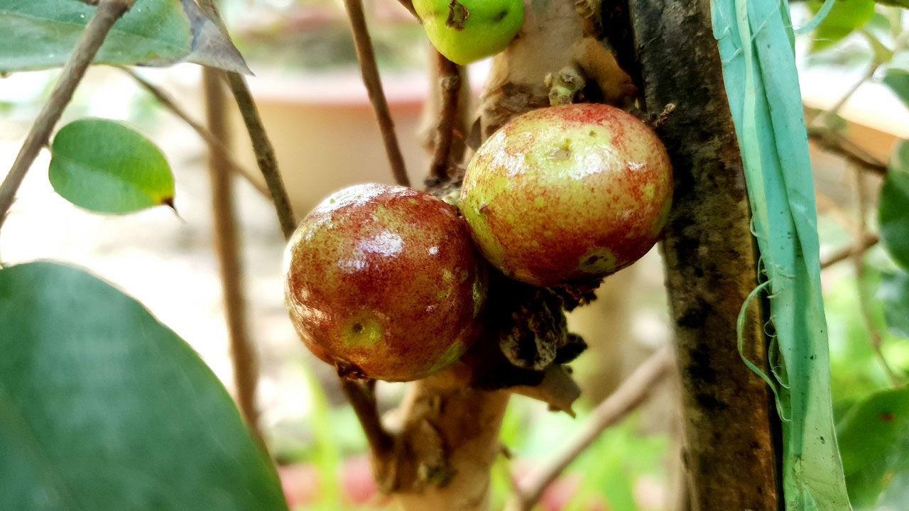 Chiêm ngưỡng vườn nho thân gỗ độc đáo ở xứ Cù Lao Ảnh 3