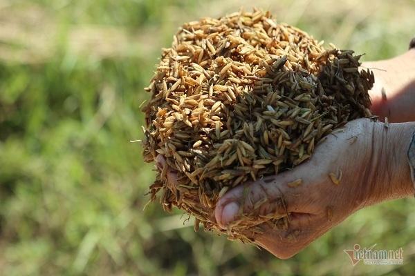 Thóc nảy mầm vứt cho trâu ăn, dân rơi nước mắt lo ngày mai Ảnh 3