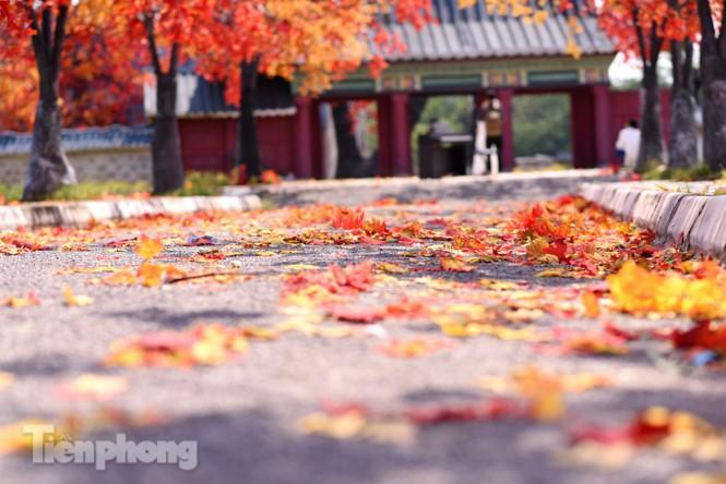 Ngỡ ngàng với con đường phong lá đỏ ở Hà Nội Ảnh 4