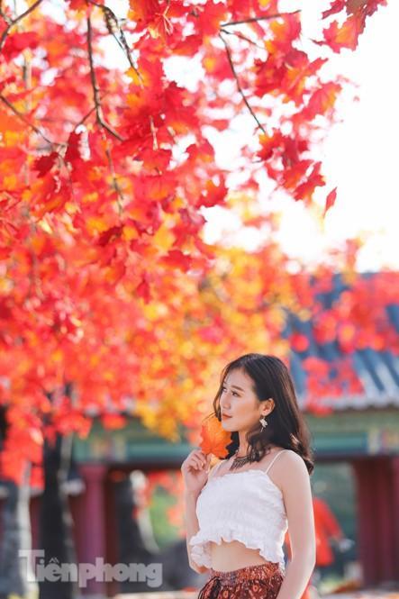 Ngỡ ngàng với con đường phong lá đỏ ở Hà Nội Ảnh 9