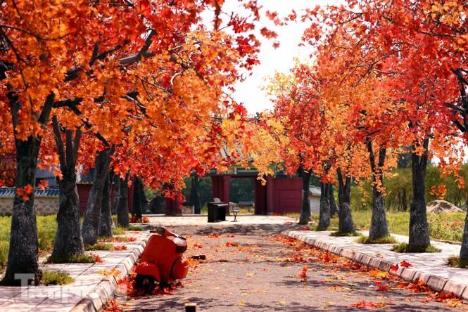 Ngỡ ngàng với con đường phong lá đỏ ở Hà Nội Ảnh 1