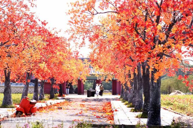 Ngỡ ngàng với con đường phong lá đỏ ở Hà Nội Ảnh 12
