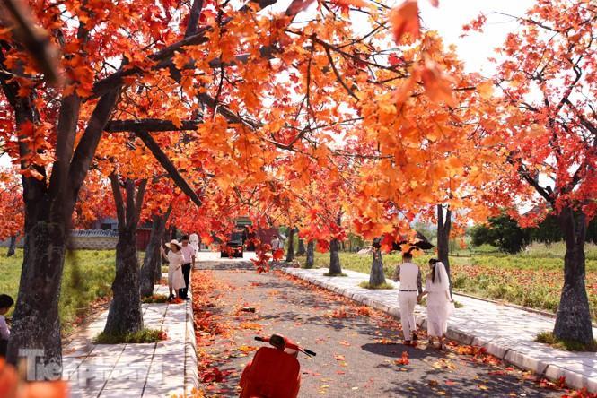 Ngỡ ngàng với con đường phong lá đỏ ở Hà Nội Ảnh 3