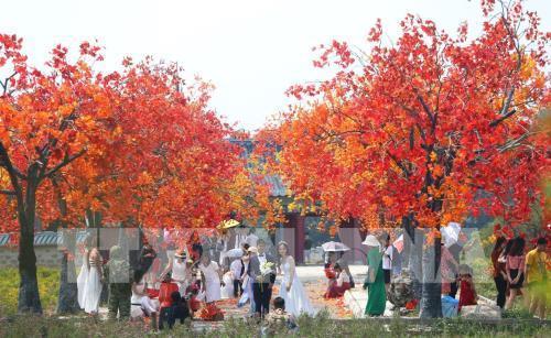 Giới trẻ Hà Nội háo hức với con đường phong lá đỏ như ở Hàn Quốc Ảnh 7
