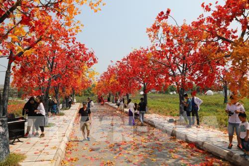 Giới trẻ Hà Nội háo hức với con đường phong lá đỏ như ở Hàn Quốc Ảnh 3