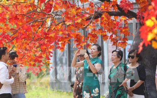 Giới trẻ Hà Nội háo hức với con đường phong lá đỏ như ở Hàn Quốc Ảnh 2