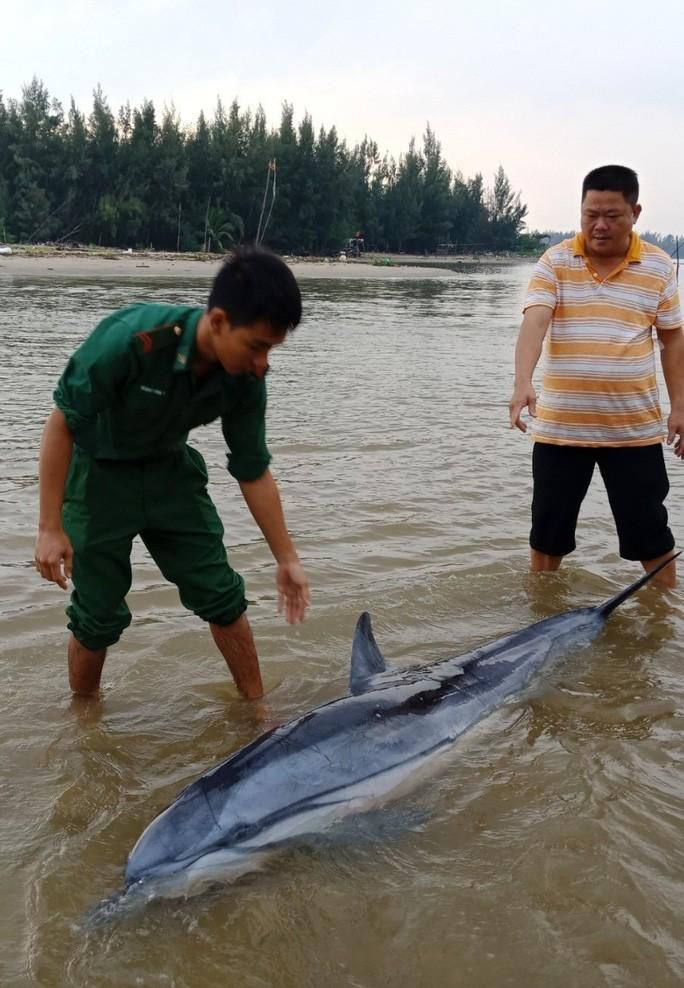 Sau đàn cá heo 100 con xuất hiện, 1 chú cá heo lại dạt vào biển Cửa Đại Ảnh 1