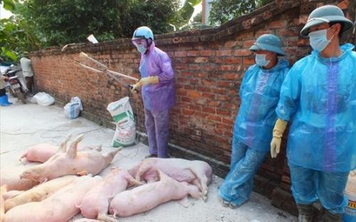 Dịch tả lợn châu Phi chưa buông tha hơn 200 xã ở Hà Nội Ảnh 1