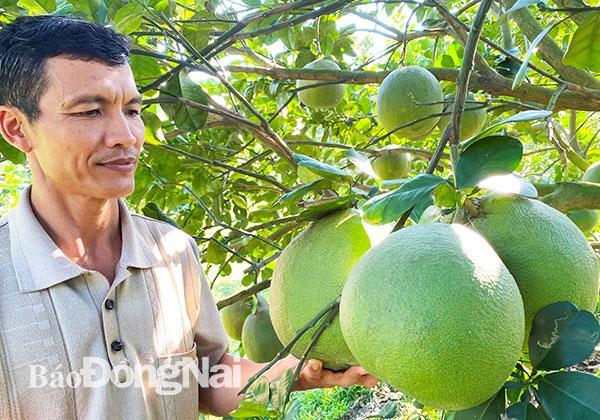 Những vườn trái cây không mùi hóa chất Ảnh 1
