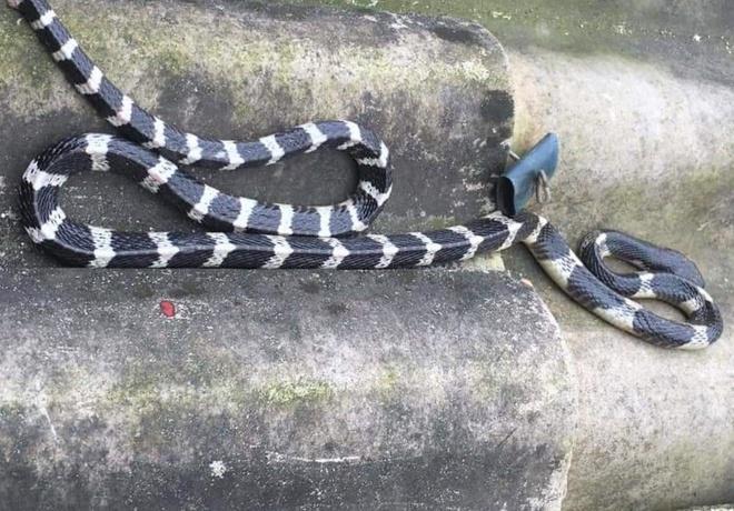 Bé trai 20 ngày tuổi bị rắn bò lên giường cắn chết Ảnh 1