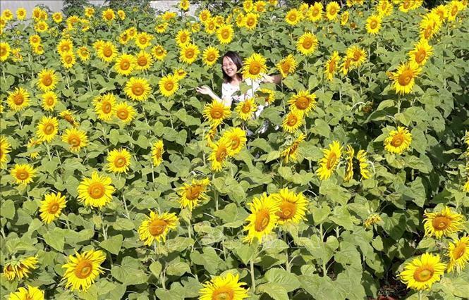 Hàng trăm nghìn người đến 'check in' vườn hoa hướng dương ở phố núi Pleiku Ảnh 2