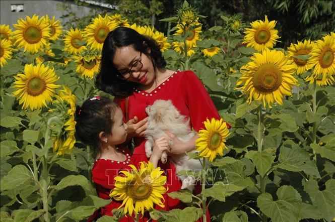 Hàng trăm nghìn người đến 'check in' vườn hoa hướng dương ở phố núi Pleiku Ảnh 3