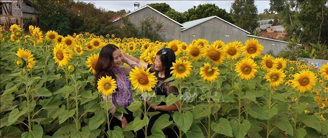 Hàng trăm nghìn người đến 'check in' vườn hoa hướng dương ở phố núi Pleiku Ảnh 4