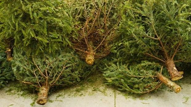 Ba Lan tận dụng cây thông Giáng sinh để biến thành năng lượng sạch Ảnh 1