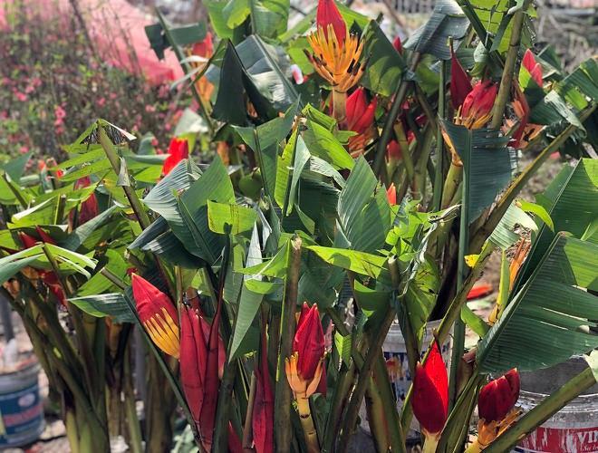 Nhộn nhịp chợ hoa Quảng An ngày cuối năm trong mưa lạnh Ảnh 10
