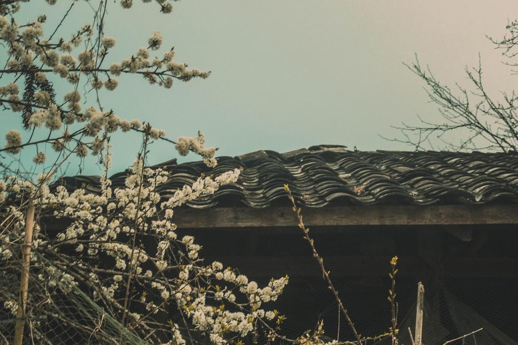 Hoa xuân khoe sắc trên cao nguyên đá Hà Giang Ảnh 2