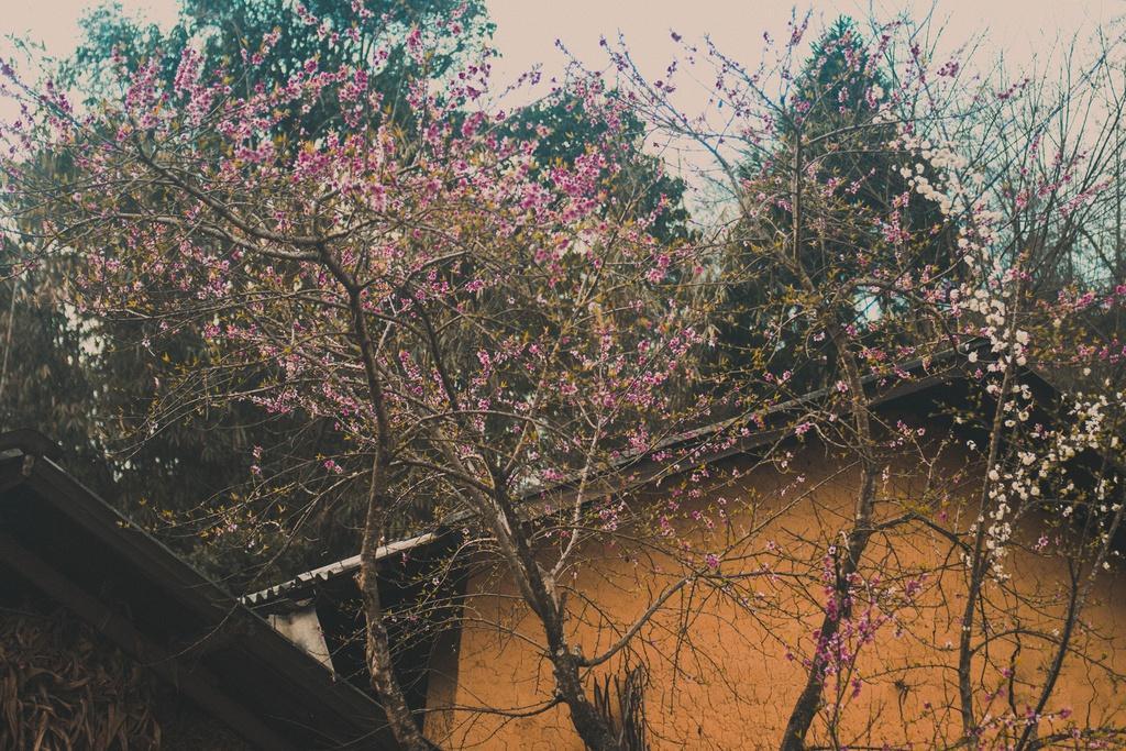 Hoa xuân khoe sắc trên cao nguyên đá Hà Giang Ảnh 3