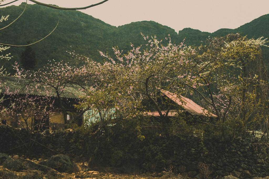 Hoa xuân khoe sắc trên cao nguyên đá Hà Giang Ảnh 5