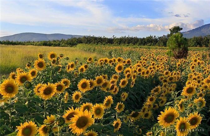 Ngỡ ngàng trước cánh đồng 'hoa mặt trời' lớn nhất Việt Nam Ảnh 1