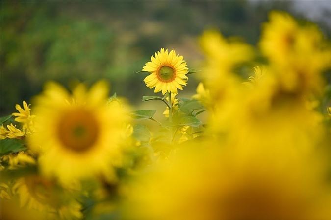 Ngỡ ngàng trước cánh đồng 'hoa mặt trời' lớn nhất Việt Nam Ảnh 2