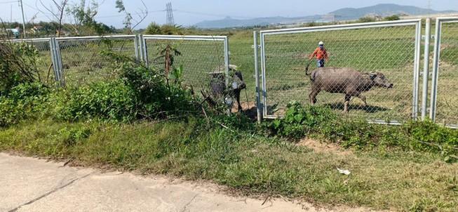 Cao tốc Đà Nẵng - Quảng Ngãi bị tháo rào chắn để trâu bò đi Ảnh 1
