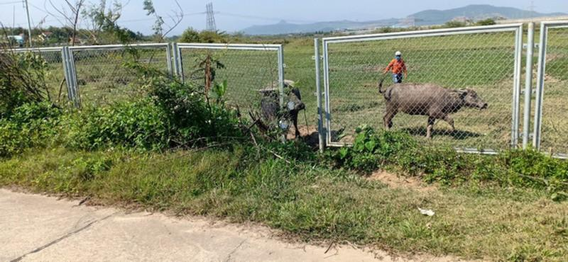 Cao tốc Đà Nẵng - Quảng Ngãi bị tháo rào chắn để trâu bò đi Ảnh 2