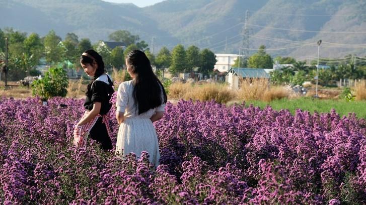 Vườn thạch thảo tím ở Bà Rịa ngỡ như cánh đồng hoa lavender ở Pháp Ảnh 2