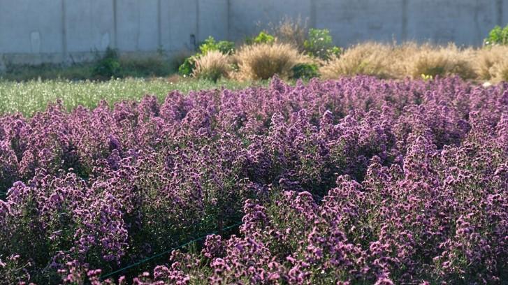 Vườn thạch thảo tím ở Bà Rịa ngỡ như cánh đồng hoa lavender ở Pháp Ảnh 7