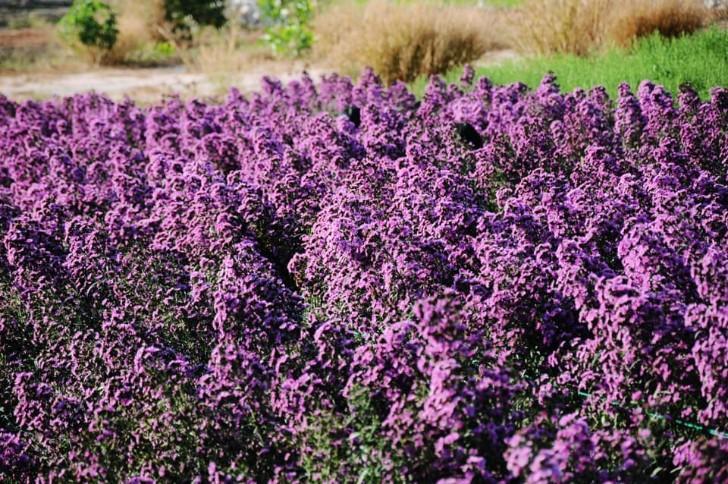 Vườn thạch thảo tím ở Bà Rịa ngỡ như cánh đồng hoa lavender ở Pháp Ảnh 4