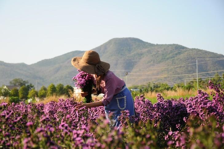 Vườn thạch thảo tím ở Bà Rịa ngỡ như cánh đồng hoa lavender ở Pháp Ảnh 1