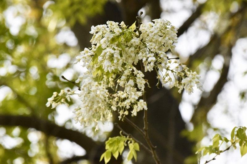 Đẹp ngỡ ngàng mùa hoa sưa nở trắng trời Hà Nội Ảnh 7
