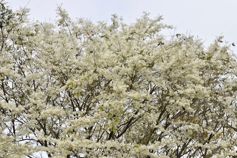 Đẹp ngỡ ngàng mùa hoa sưa nở trắng trời Hà Nội Ảnh 3