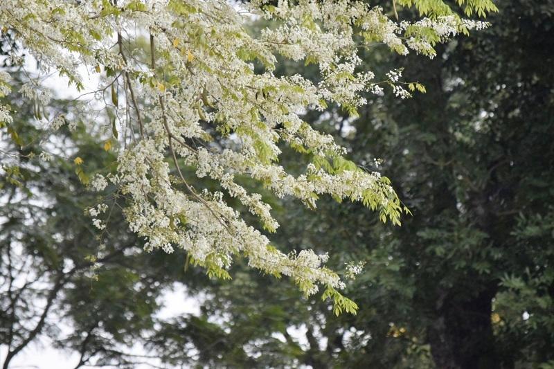 Đẹp ngỡ ngàng mùa hoa sưa nở trắng trời Hà Nội Ảnh 10