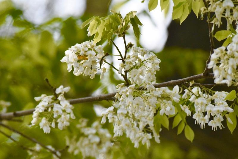 Đẹp ngỡ ngàng mùa hoa sưa nở trắng trời Hà Nội Ảnh 6