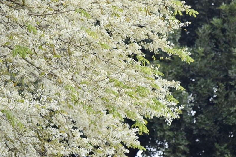 Đẹp ngỡ ngàng mùa hoa sưa nở trắng trời Hà Nội Ảnh 4