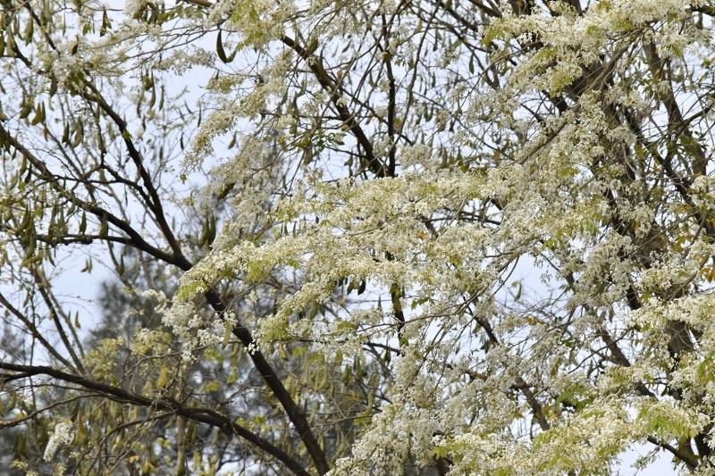 Đẹp ngỡ ngàng mùa hoa sưa nở trắng trời Hà Nội Ảnh 5