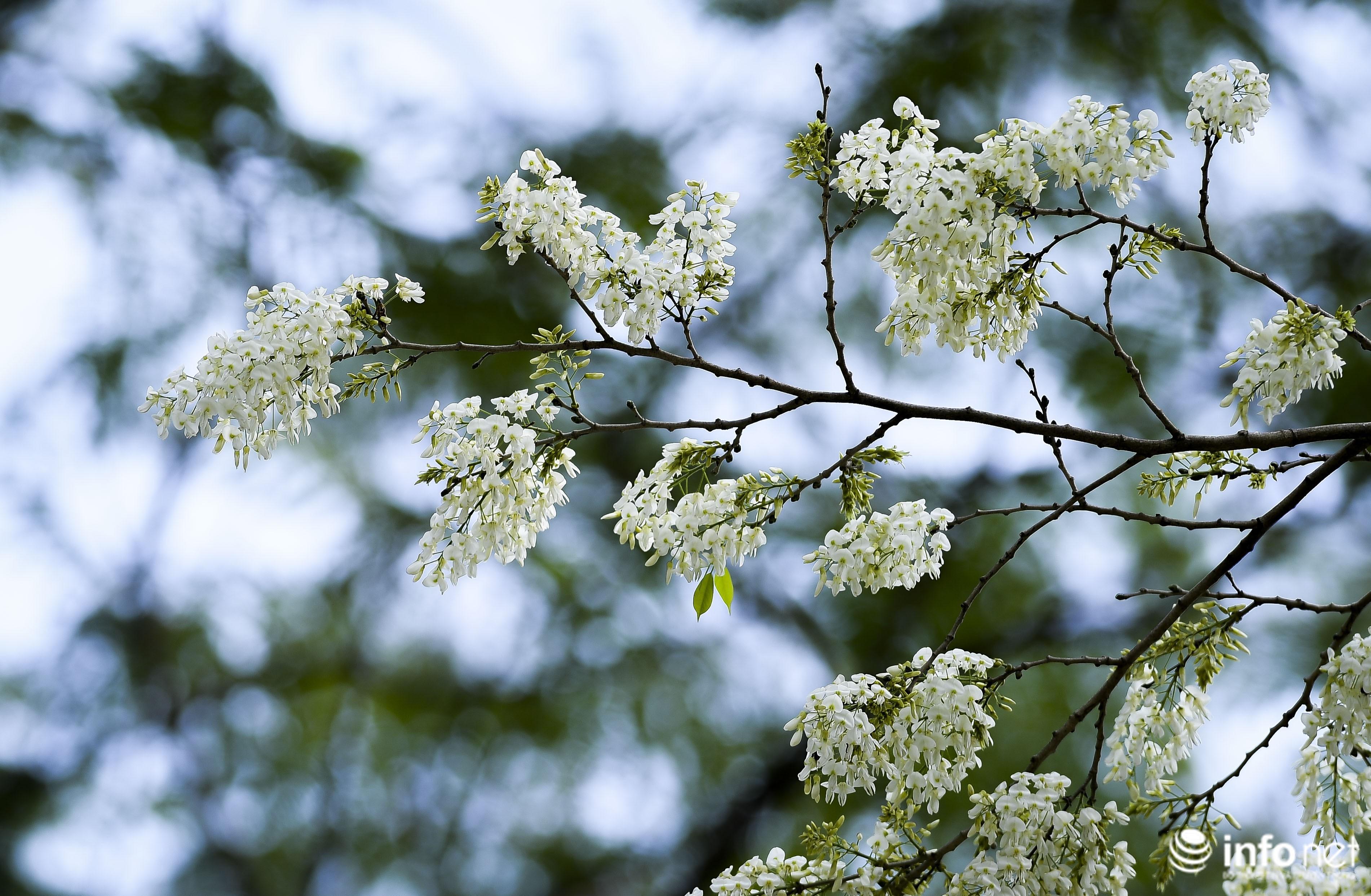 Ngắm hoa sưa nở trắng phố phường Hà Nội Ảnh 15