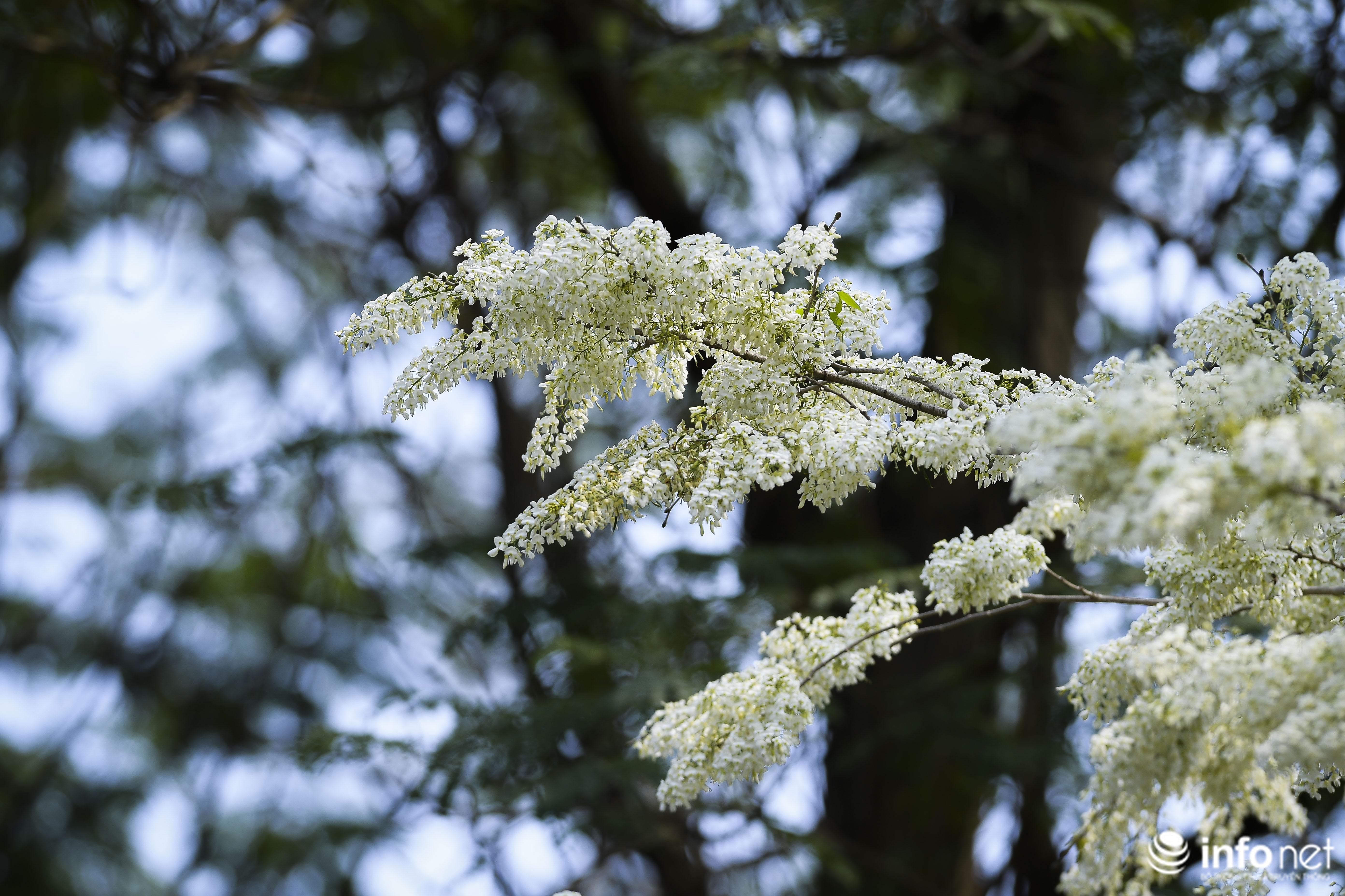 Ngắm hoa sưa nở trắng phố phường Hà Nội Ảnh 12