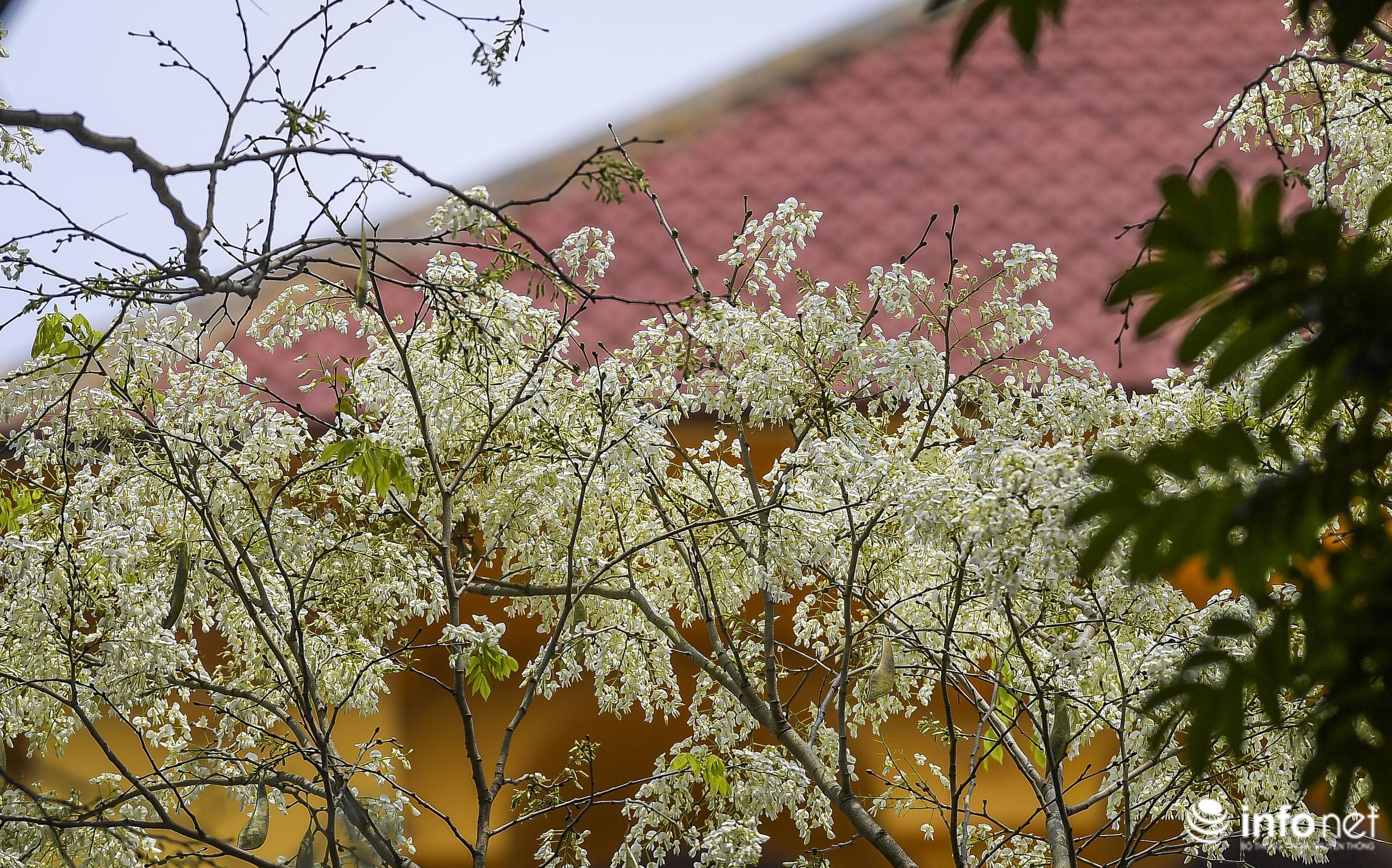 Ngắm hoa sưa nở trắng phố phường Hà Nội Ảnh 18