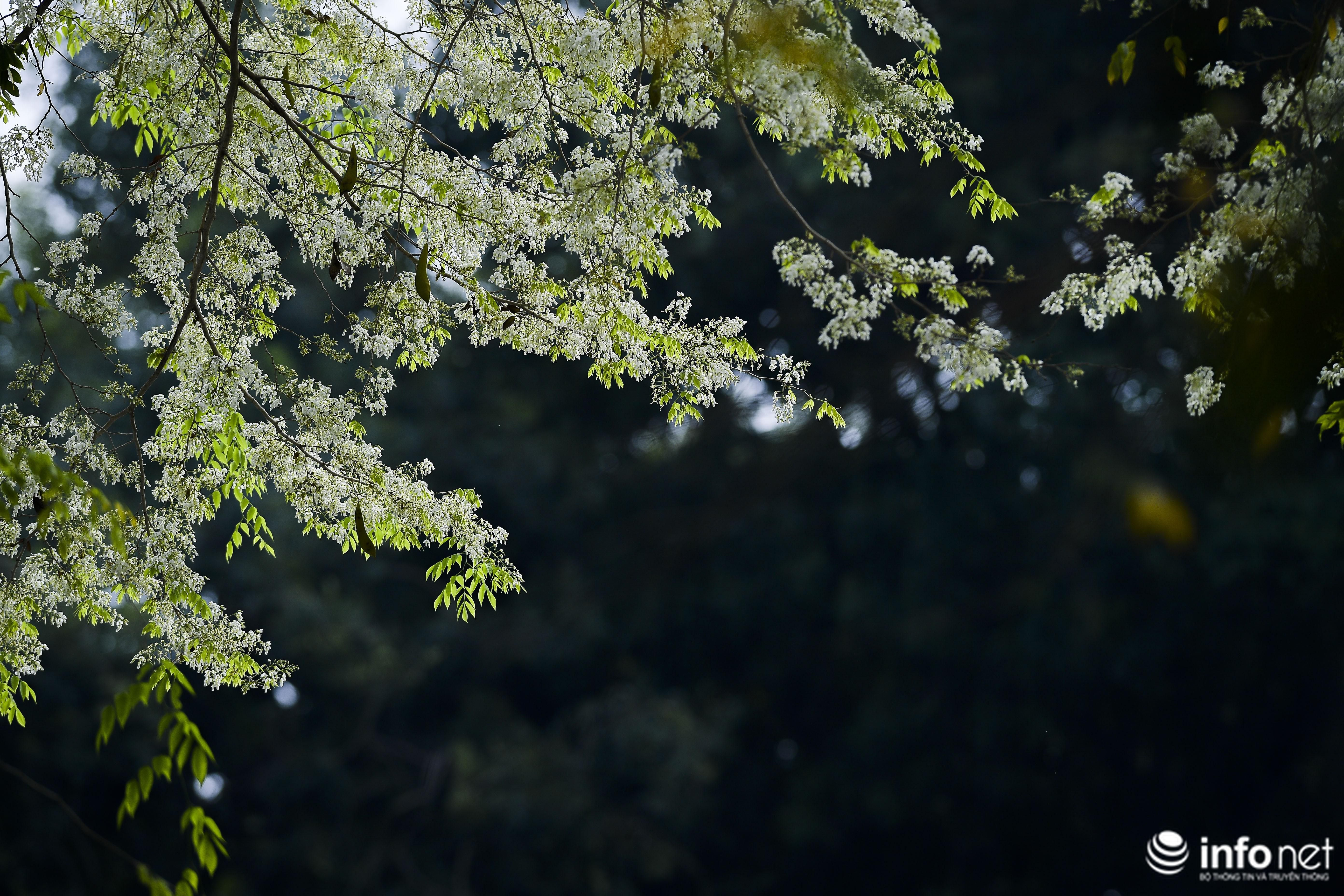 Ngắm hoa sưa nở trắng phố phường Hà Nội Ảnh 8
