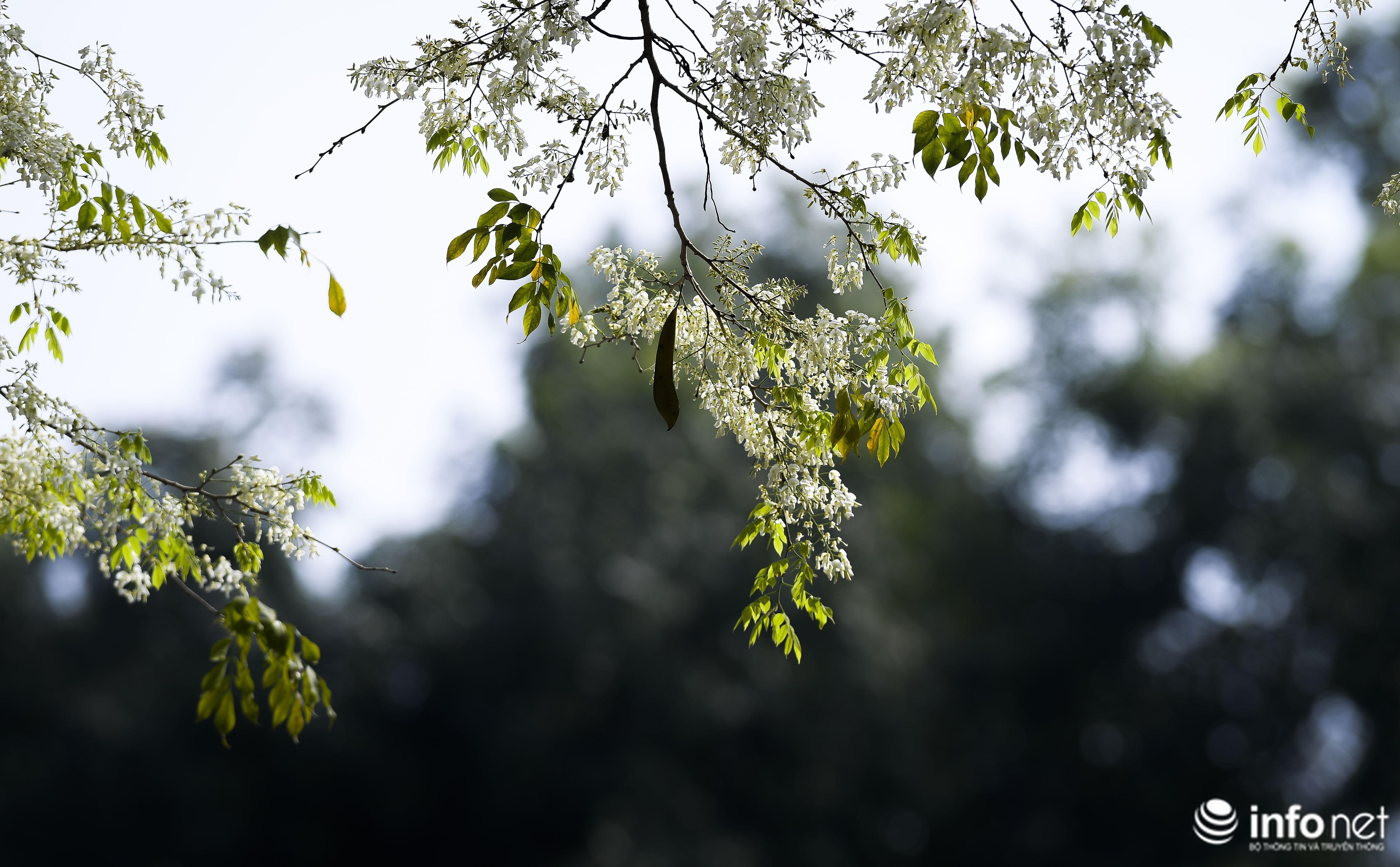 Ngắm hoa sưa nở trắng phố phường Hà Nội Ảnh 9