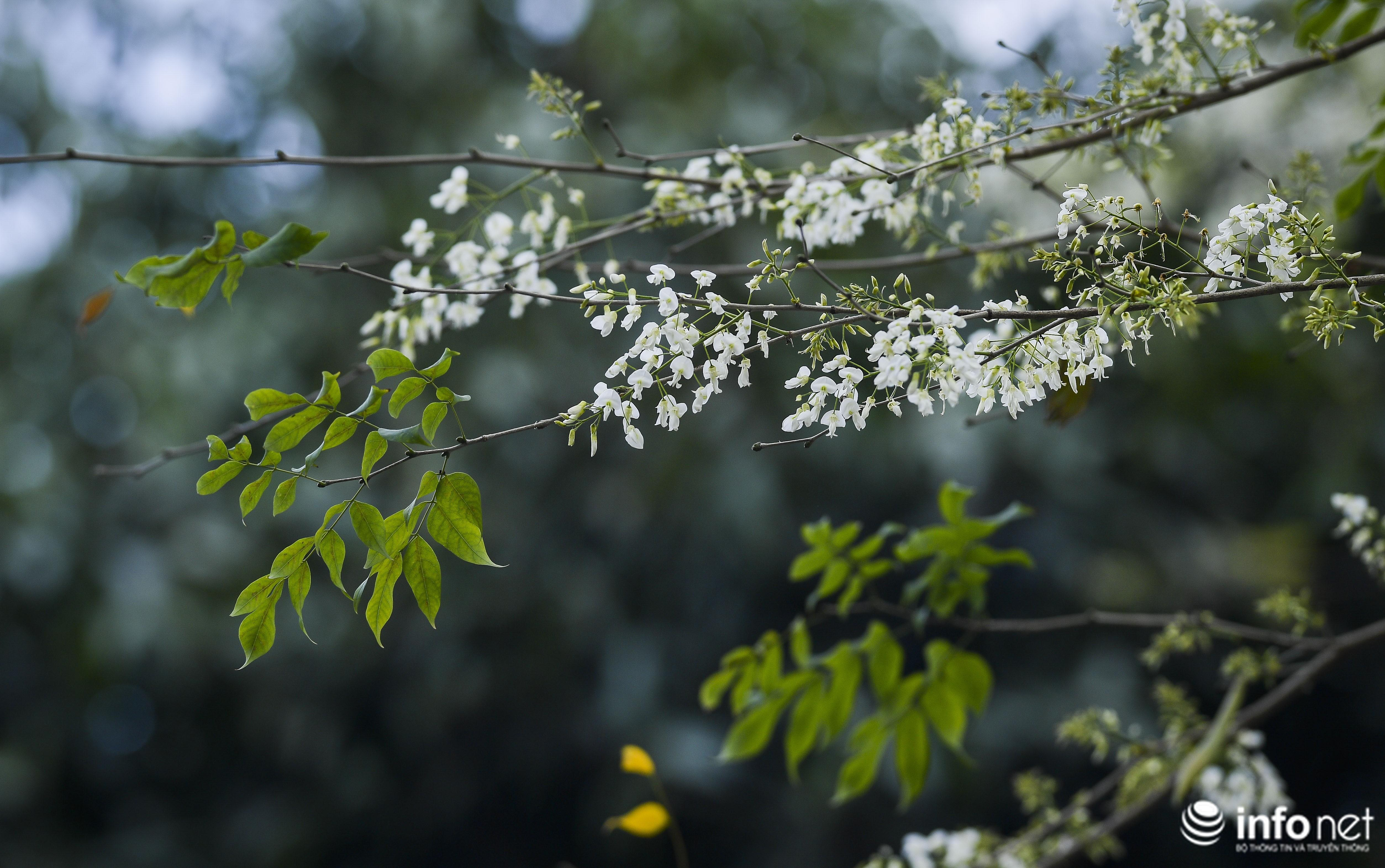 Ngắm hoa sưa nở trắng phố phường Hà Nội Ảnh 3