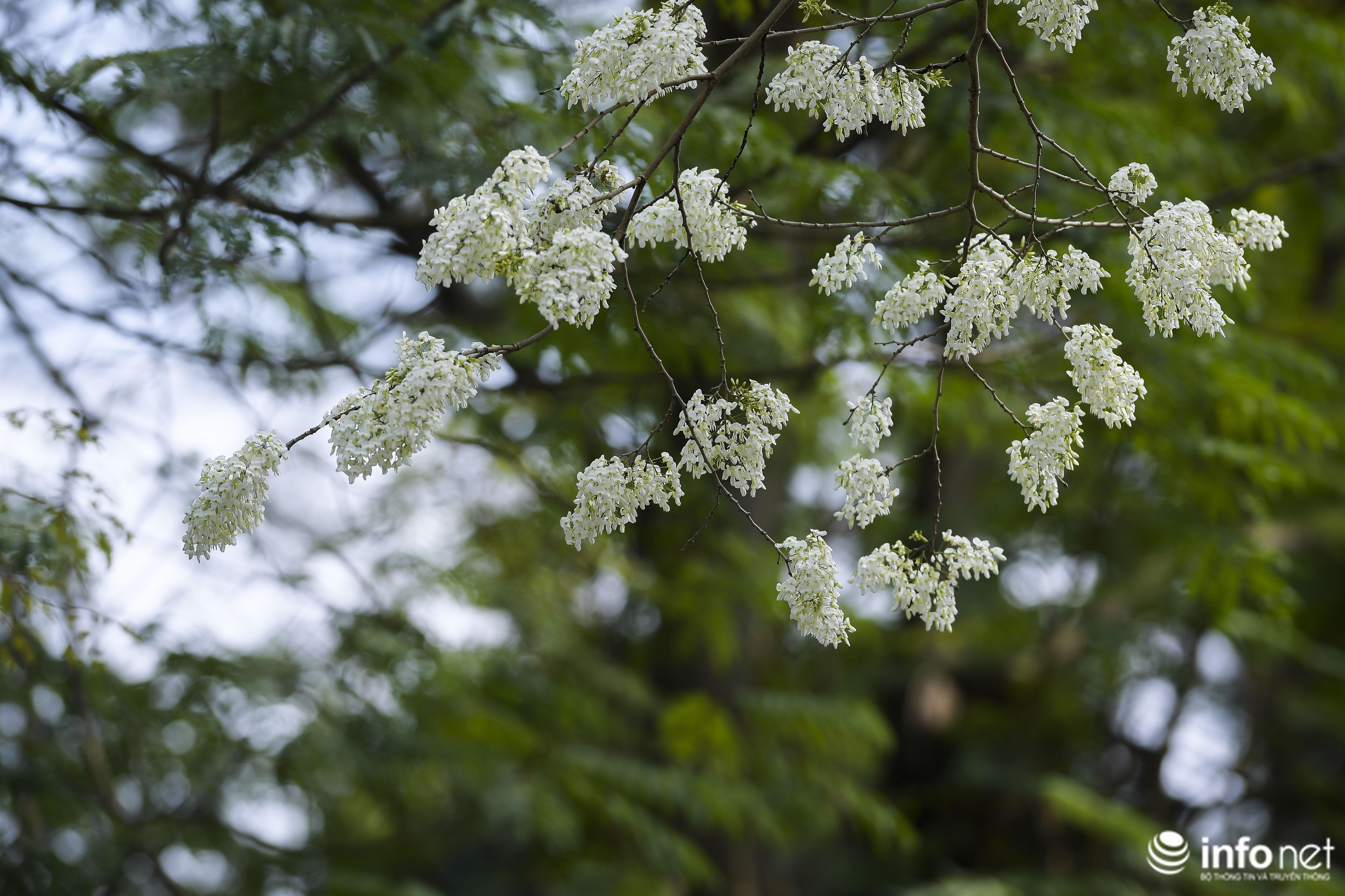 Ngắm hoa sưa nở trắng phố phường Hà Nội Ảnh 13